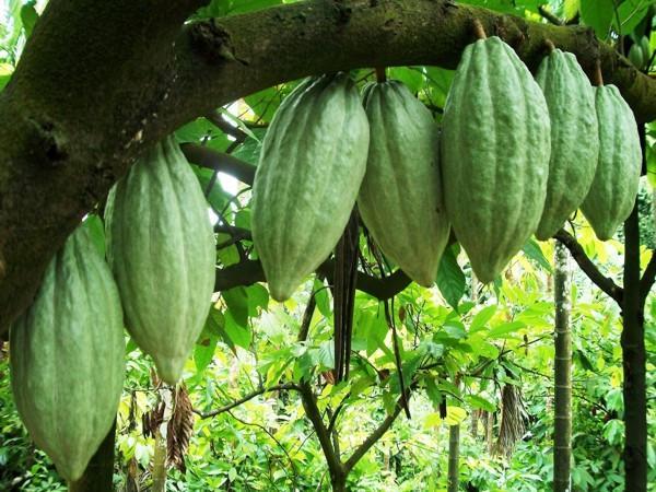 green cocoa